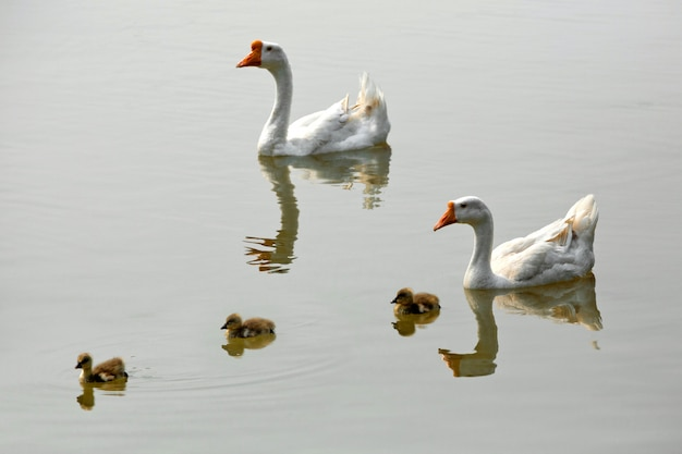 White goose and baby in the lake