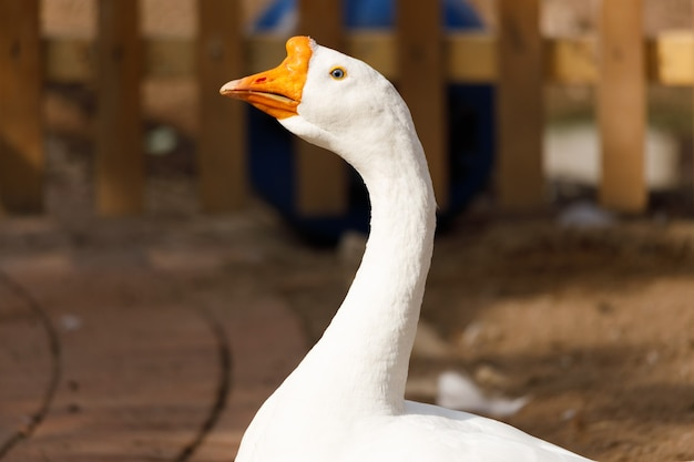 White goose close-up. poultry in the village. high quality photo