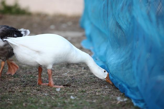 White goose look food under net in garden