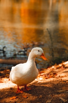 White goose standing at the lakeshore with confused eyes