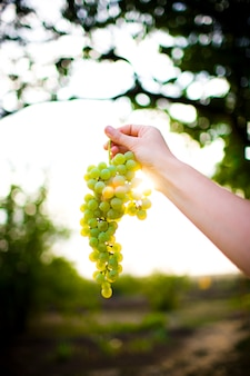 White grapes on a branch in the sun.