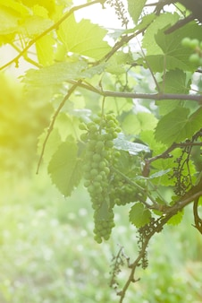 White grapevine on branch with drop of dew after rain on tree and leaves in vineyard,