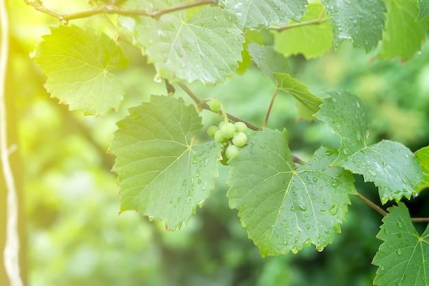 樹上の雨とぶどう園の葉の後に露の滴を持つ枝に白のブドウ、