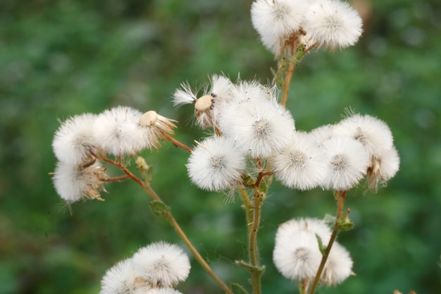 Белая трава цветок