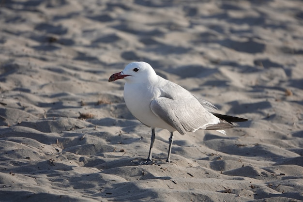 White and gray seagull walking on the sand at daytime