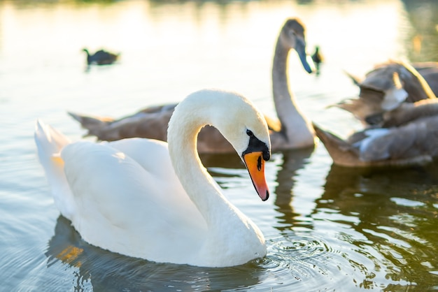 White and gray swans swimming on lake water in summer.