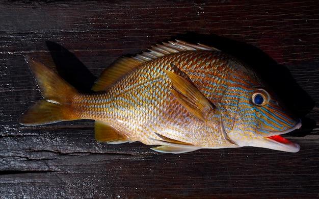 White grunt fish haemulon plumieri
