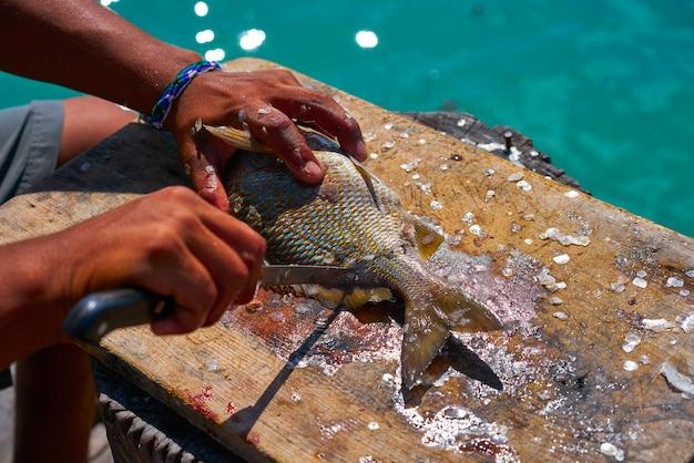 White grunt fish unwind in caribbean