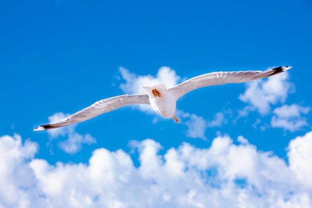 White gull hovering in the sky seagull on blue sky background