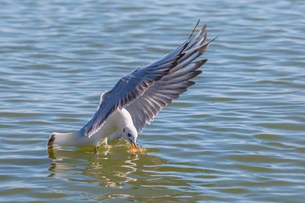 Белая чайка сидит на поверхности моря, пытаясь схватить еду в полете