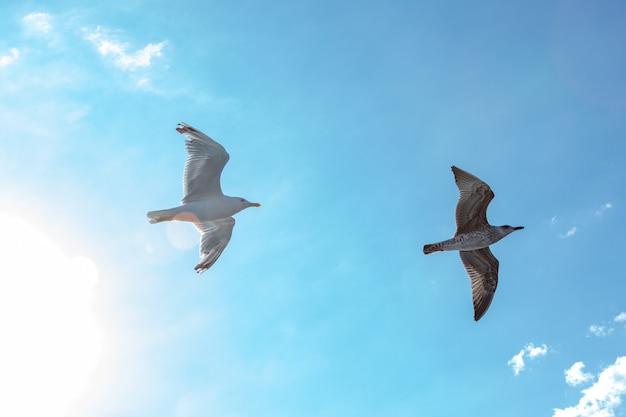 White gulls hovering in the sky. bird's flight. seagull on blue sky background