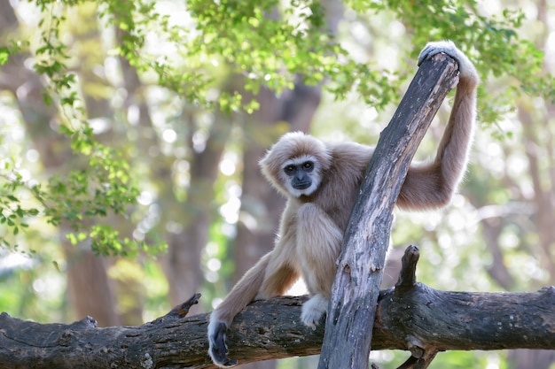 White-handed gibbon is sitting on a branch with green leaf