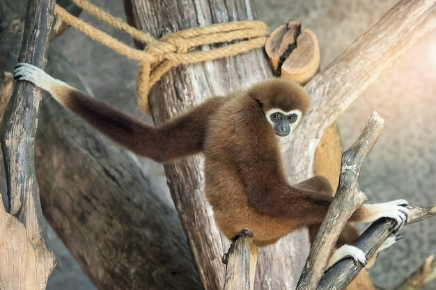 White-handed gibbon in nature