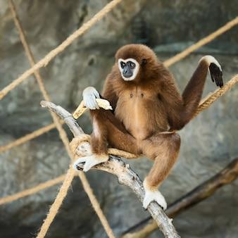 흰손 긴팔 원숭이.