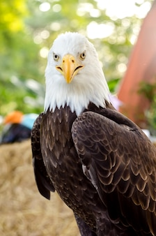 Белоголовый орлан (white-head eagle, белоголовый орлан, американский орел) портрет