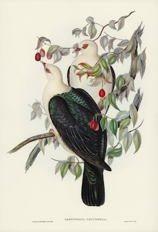 White-headed fruit pigeon (carpophaga leucomela) illustrated by elizabeth gould
