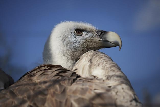 Avvoltoio dalla testa bianca su sfondo blu cielo