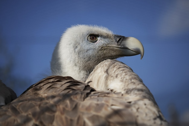 푸른 하늘 배경에 흰머리 독수리