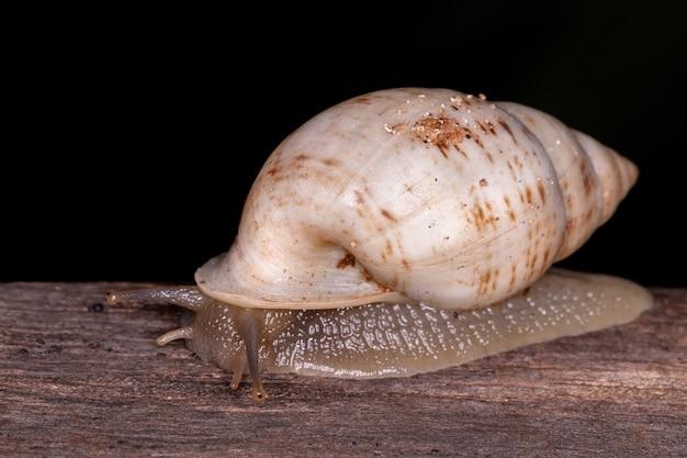 Белая улитка helicinan вида drymaeus souzalopesi