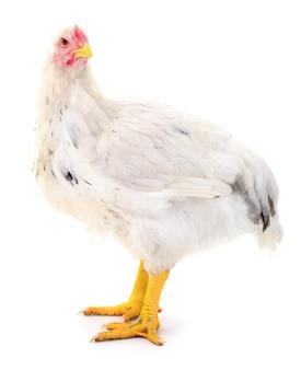 Белая курица, изолированные на белом, студийный снимок