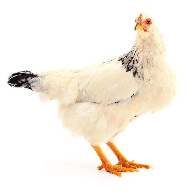 White hen isolated on white, studio shot
