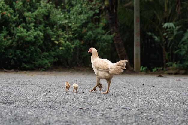 砂利の上を歩くひよこと白い鶏