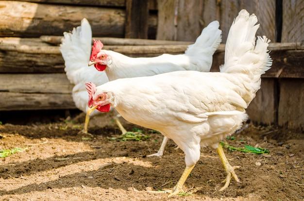 Белые куры свободно гуляют по двору в поисках пропитания. цыплята в курятнике крупным планом.