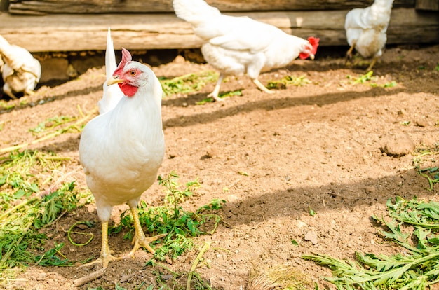 White hens are freely walking in the farmyard in search of food.