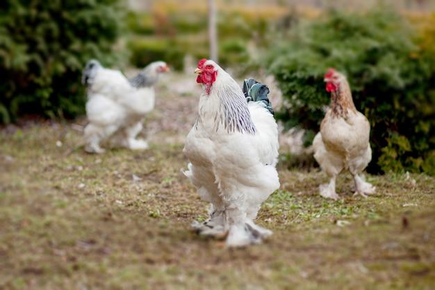 White hens on green grass outside in rural yard