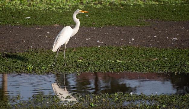 ホワイトヘロン、生息地の美しいホワイトヘロン、ブラジルの湖と湿地、自然光、選択的な焦点。