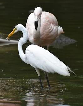 Белая цапля птица, глядя на свое отражение