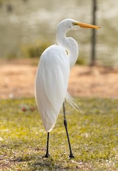 White heron at brazilian park