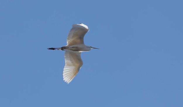 Белая цапля в полете на фоне голубого неба. вид снизу.