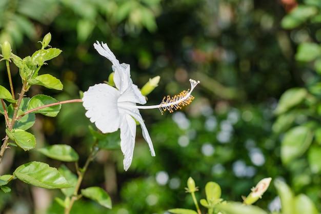 흰색 히비스커스 또는 조바 꽃은 부드러운 보케 배경으로 가까이 보입니다.