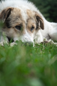 自然環境で休んでいる白いヒマラヤ犬