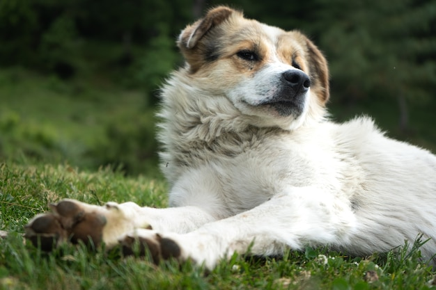 Cane himalayano bianco che riposa nell'ambiente naturale