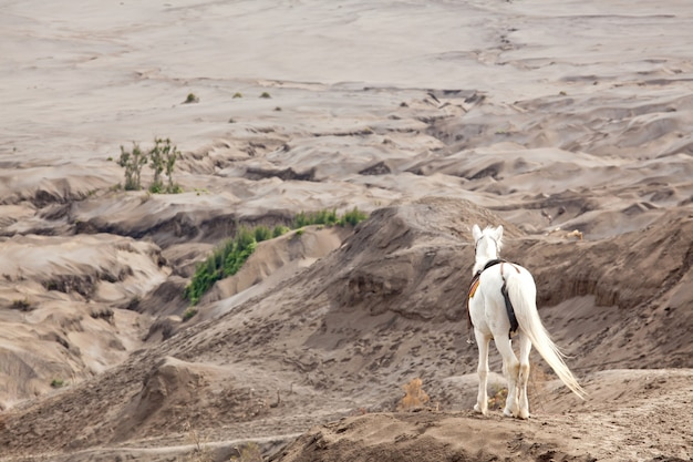 White horse against desert