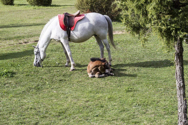 A white horse and a brown foal lying on a green meadow
