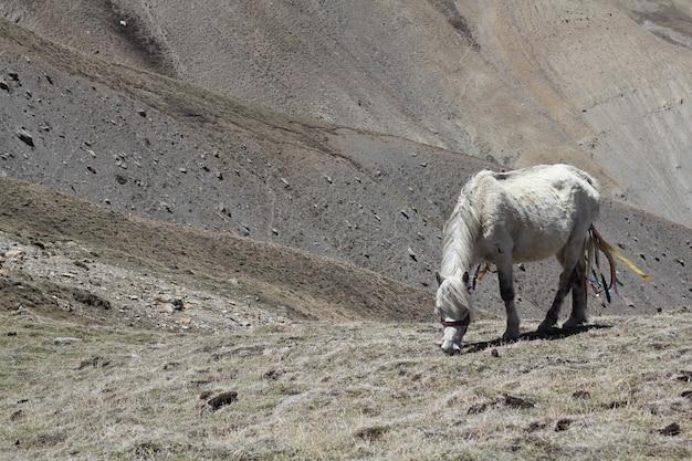 Белая лошадь, пасущаяся в полях