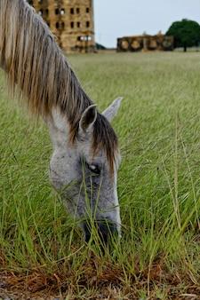古代の歴史的建造物の前の牧草地で放牧している白い馬