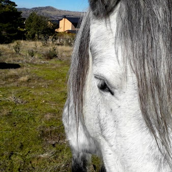 White horse head with gray hair very close up