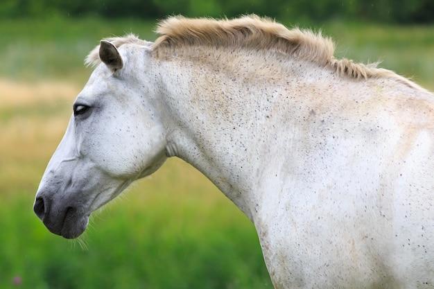 Белая лошадь на летнем пастбище. Premium Фотографии