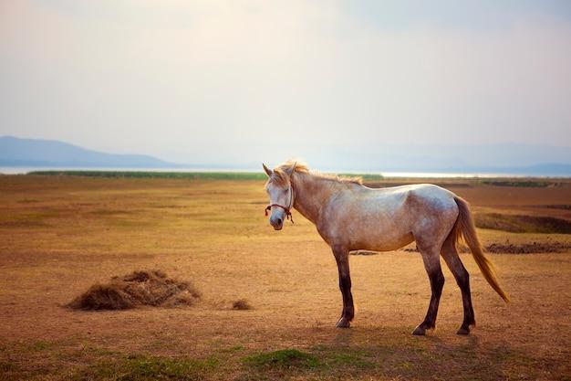 Белая лошадь на красивом поле фермы