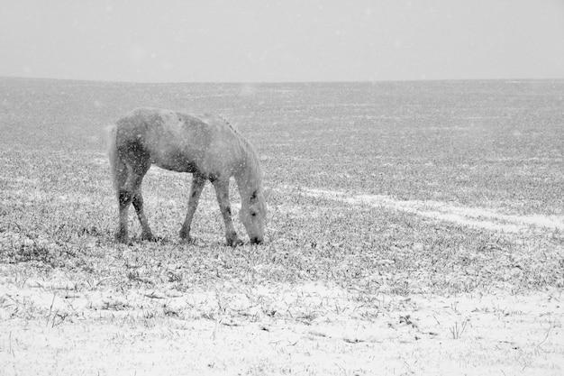 Белая лошадь пасется в снегу