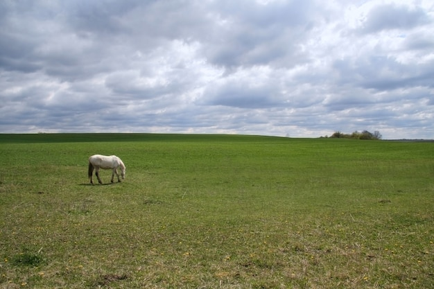 牧草地で放牧白い馬