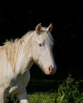 Белый портрет лошади на черном фоне