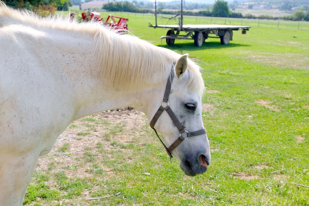 White horse rpofile portrait outdoor meadow