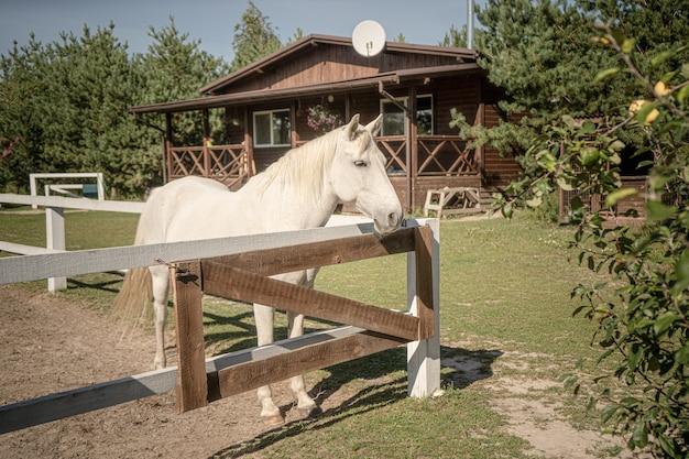 Белая лошадь ждет хозяина в загоне в солнечный день на открытом воздухе на фоне деревянного дома