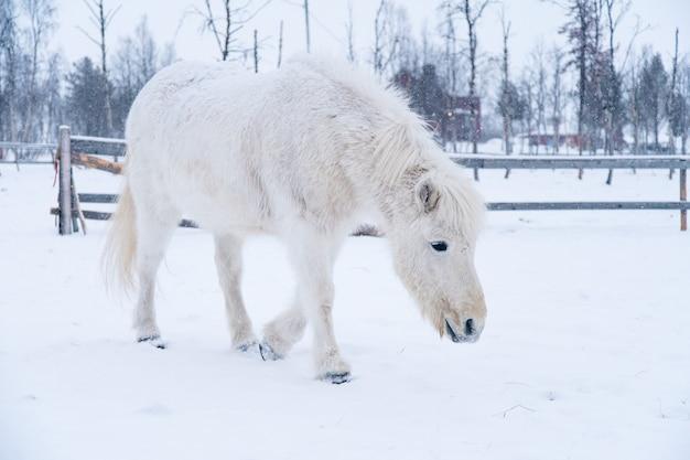 Белая лошадь идет по заснеженному полю на севере швеции