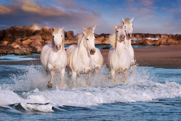 White horses are galoping in the water on the beach